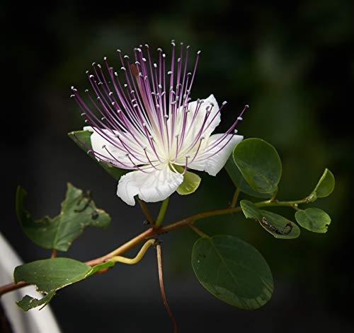 1 Packet of 20 Seeds Spineless Caper Bush - Spineless Caper Bush - Capparis spin