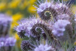 lacy phacelia, PURPLE TANSY flower, 1165 seeds! - $14.35