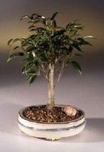 Ficus Midnight Bonsai Tree- Medium(benjamina 'midnight') - $61.85