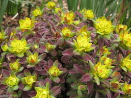 20 Euphorbia polychroma 'Bonfire Seed - An attractive low growing succul... - $2.93
