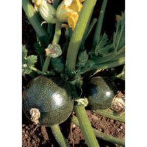 SHIP From US, 10 Seeds Tondo di Piacenza Summer Squash, DIY Healthy Vegetable AM - $18.99