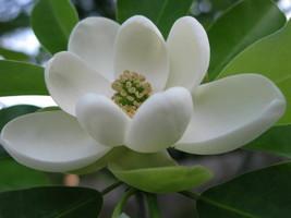 SWEETBAY MAGNOLIA, Laurel Magnolia, Swamp Magnolia qt. pot image 1