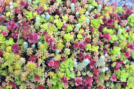 Sedum mixed 50 seeds * Succulents * Easy grow * Exotic * SHIPPING FROM US - $5.40