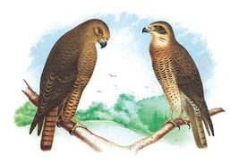 Hen Hawk and Swainson's Hawk by Theodore Jasper - Art Print - $19.99+