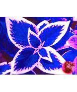 100 / bag blue Coleus seeds, beautiful flowering plants, potted bonsai b... - $3.99