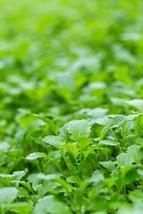 Mustard Florida Broadleaf Non GMO Heirloom Vegetable Seeds Sow No GMO® USA - $1.97+