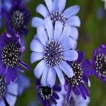 Felicia Blues Blue Daisy Flower Seeds (Felicia Heterophylla) 50+Seeds - $5.92+