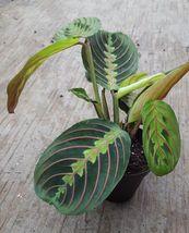 "Red Prayer Plant - Maranta - Easy to Grow House Plant - 4"" Pot - $20.97"