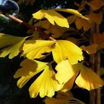 5 Seed Maidenhair Tree Gingko Biloba Bonsai Seeds, DIY Beautiful Tree DO - $8.99