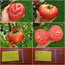 GIANT Tomato ''Millionaire'' ~10 Top Quality Seeds - Amazing Flavor Vari... - $14.98
