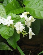 Starter Plant Jasmine Maid of Orleans Plant Very Fragrant Mature Fresh F... - $27.71