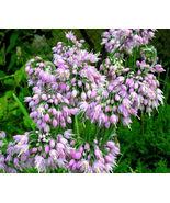 Nodding Onion Pink Allium Cernuum - 200 Bulk Seeds - $24.49