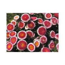 50 Flower Seeds - Hi No Maru Aster Red & White Callistephus #SFB15 - $17.99