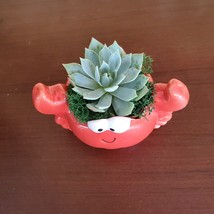 "Ceramic Crab Planter with Succulent, live plant, 4"" red pot image 2"