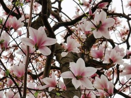 Saucer Magnolia Soulangeana gallon pot image 1