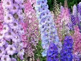Shipped From Us 1800+LARKSPUR (Rocket) Imperial Mix Colors Flower Seeds, CB08 - $17.00