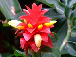 Costus Woodsonii - Red Button Ginger - Rare Tropical Plant Seeds (10) - $12.00