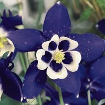50 Navy White Columbine Flower Perennial Seeds #STL17 - $15.17