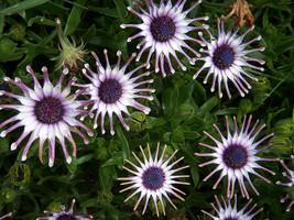 100 Blue Daisy hardy plants flower seeds exotic ornamental flowers garden - $5.94