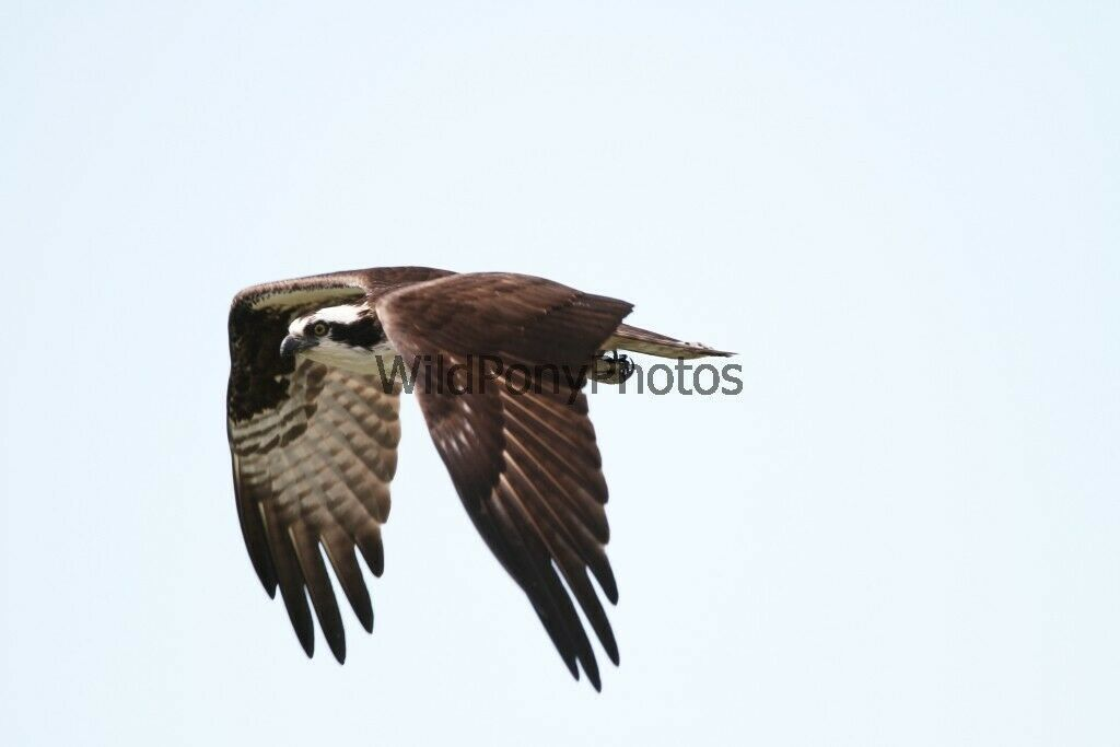 Primary image for Osprey Successful Fishing Attempt 1 Photo - Various Sizes