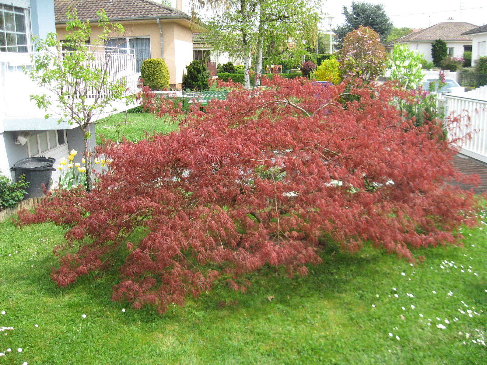 Image of Red Lace Leaf Japanese Maple Acer palmatum atropurpureum dissectum Tree Seeds 10
