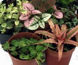 10 Live Plant - Terrarium & Fairy Garden Potted - ideal Home Office #HGD15 - $66.99+