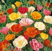 500 Poppy (Mission Bell Mix) Seeds - $8.99
