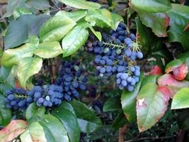 20 seeds Oregon Holly Grape, Mahonia aquifolium (Free Shipping) - $14.90+