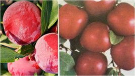 Fruit Tree Plums MORRIS PLUM 2-3 Ft Tall Plant Plums Plants Trees Garden... - $123.99