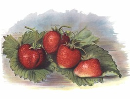 Vintage Fruit Prints: Laxtons Noble - Fruit Growers Guide - 1880 - $12.82+