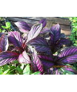 Persian Shield Strobilanthes Dyerianus Tender Periennal Live Plant 2.5 I... - $5.25