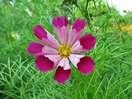 50 Seeds Cosmos Pied Piper Red Annual - $19.60