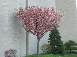 Kwanzan Flowering Cherry tree 2 plants image 2