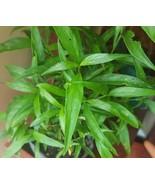 Starter Live Plant Linden Tea Plant - Justicia Pectoralis - Planta de Tilo - $17.95