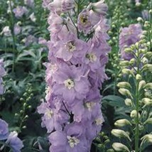 LARKSPUR, GIANT IMPERIAL 1000+ SEEDS ORGANIC NEWLY HARVESTED, A GREAT CU... - $10.99
