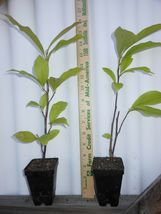 "Ann Magnolia 2 1/2"" pot shrub/tree image 3"