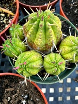 """Ball cactus succulent rooted 1""""-2"""" rooted pup ships potted thick spines - $3.95"""