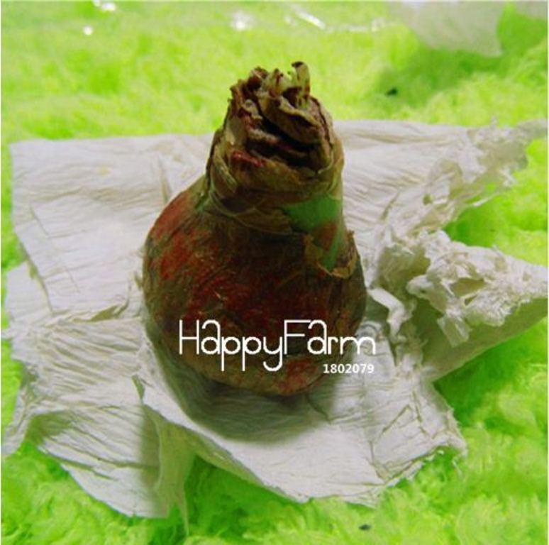 HAPPY FLOWER 2 Bulbs LESANPURO True Hippeastrum Rutilum Bulbs Amaryllis