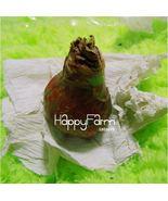 HAPPY FLOWER 2 Bulbs LESANPURO True Hippeastrum Rutilum Bulbs Amaryllis  - $1.68