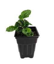 """2.5"""" Pot - Emerald Green Begonia Vine - Pellionia - Terrarium/Fairy - tk... - $45.00"""