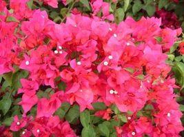 Bougainvillea Plant - 'James Walker'' - $17.25