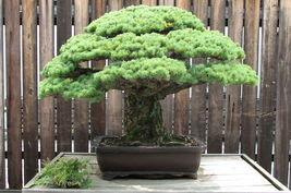 Japanese White Pine, Pinus parviflora, Tree Seeds (Bonsai, Fragrant Evergreen) - $10.99