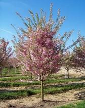 Autumnalis Flowering Cherry Tree image 1