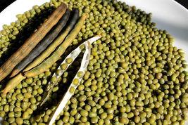 100 Seeds Mungbean Mung Bean Green Gram Mash Bean Munggo Soy Vigna - $7.99