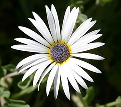 25 Arctotis Grandis Annual Seeds African Daisy PS - $17.86
