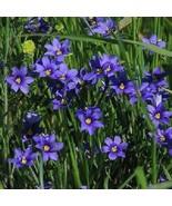 USA wild blue iris 100-1600 seeds - $6.85+