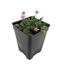 "2.5"" Pot - Double Pink Fairy Erodium - Cranesbill/Alpine Geranium -Fairy... - £34.68 GBP"