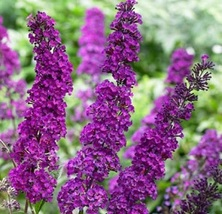 100 Seeds - Lilac Lavender Butterfly Budhelia - Fast Growing And Blooming - $7.99