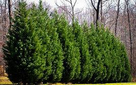"25 LEYLAND CYPRESS TREE plants 2 1/2"" pot (X Cupressocyparis  leylandii) image 3"