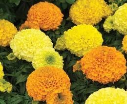 10 Variety Very Exotic Fresh Seeds Marigold Antigua Series #TLM1 - $19.99+